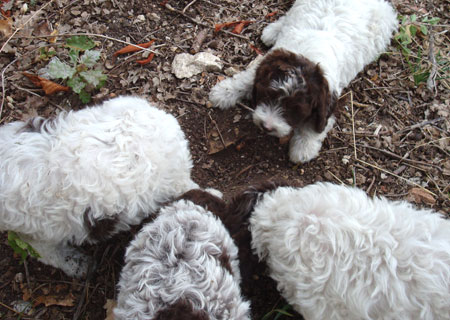 Actu autour de la truffe - truffe fraiche - truffes de Montcuq
